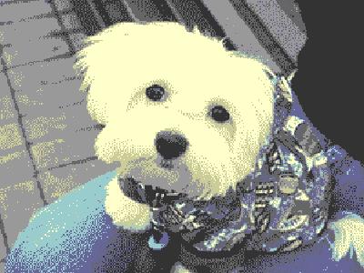 bigeyed-whitedog